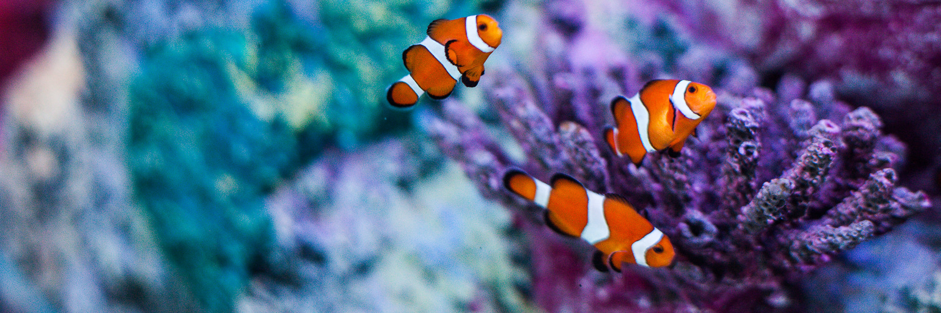 Clownfish 3000X1000 | SEA LIFE Aquarium