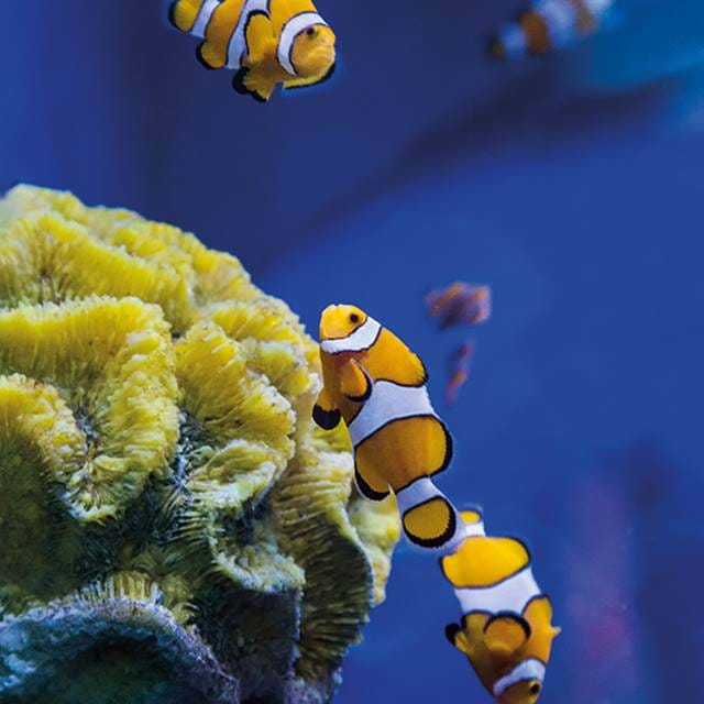 2 Clownfish Live In Family Groups Of Parents And Their Offspring Cropped