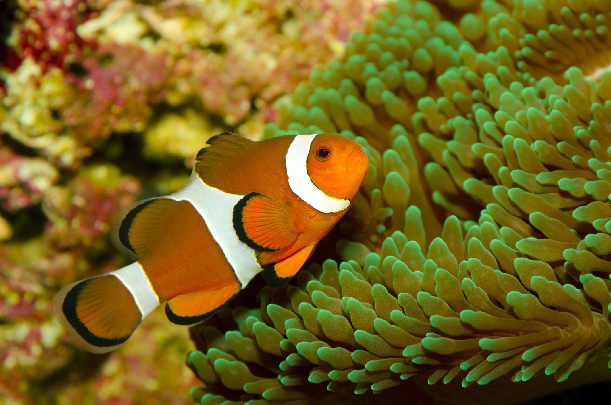 10582 Clownfish With Anemone