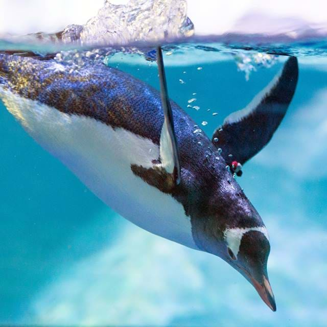 Gentoo Penguin Diving