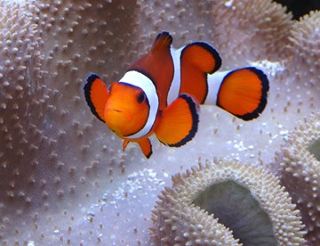 Clownfish Swimming By An Anemone