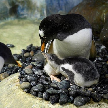 Penguin Breeding