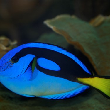 Regal Blue Tang - Dory at SEA LIFE
