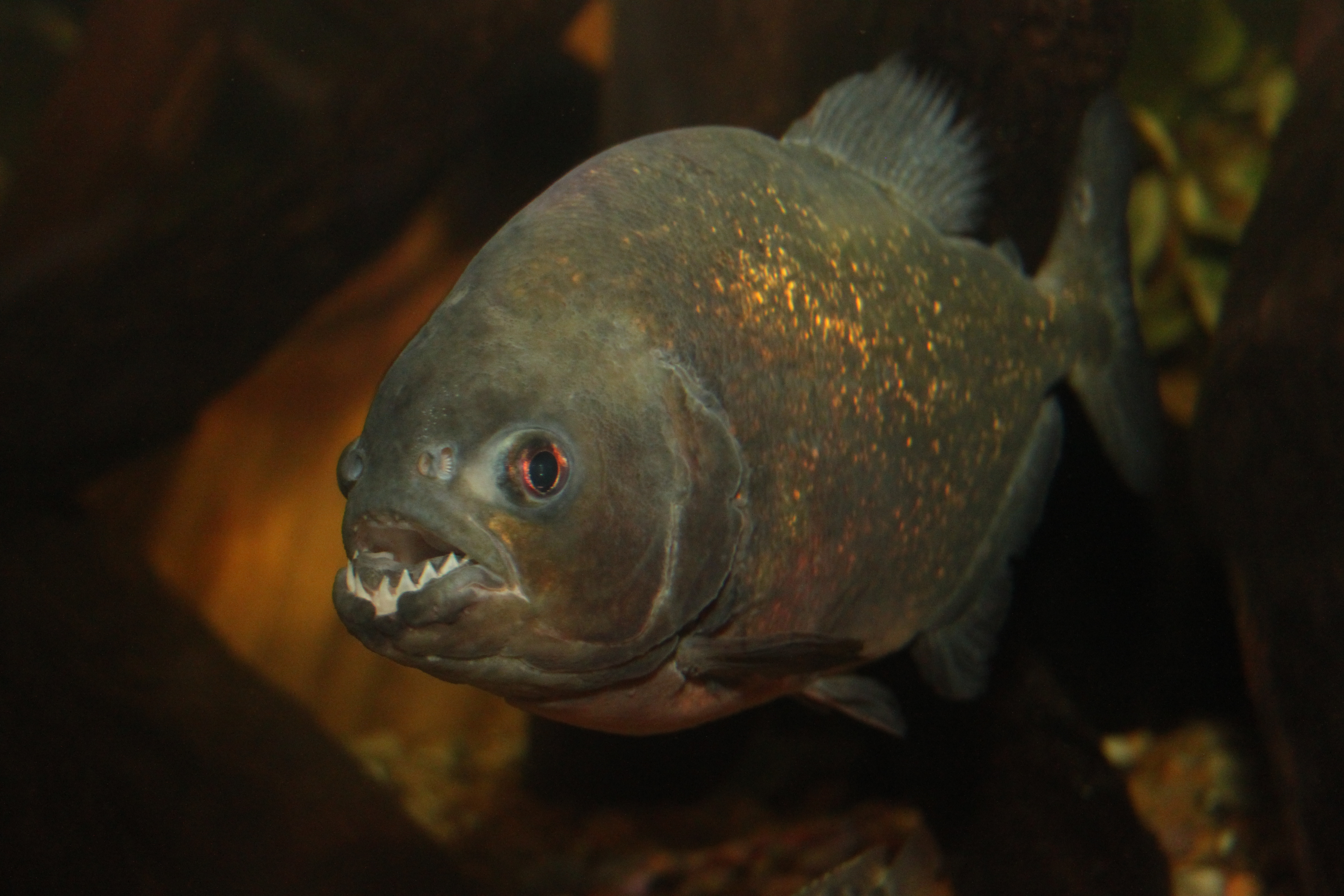 Red Bellied Piranhas at SEA LIFE Blackpool