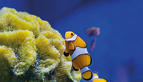 9608 2 Clownfish Live In Family Groups Of Parents And Their Offspring Cropped