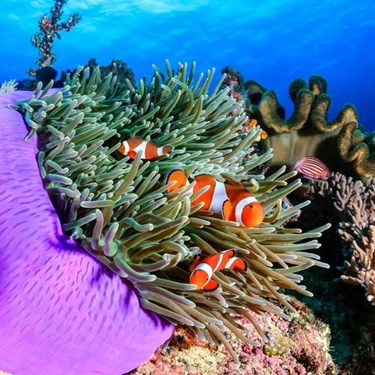 Clownfish in coral reefs