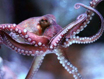 Common Octopus at SEA LIFE
