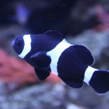 Black Clownfish