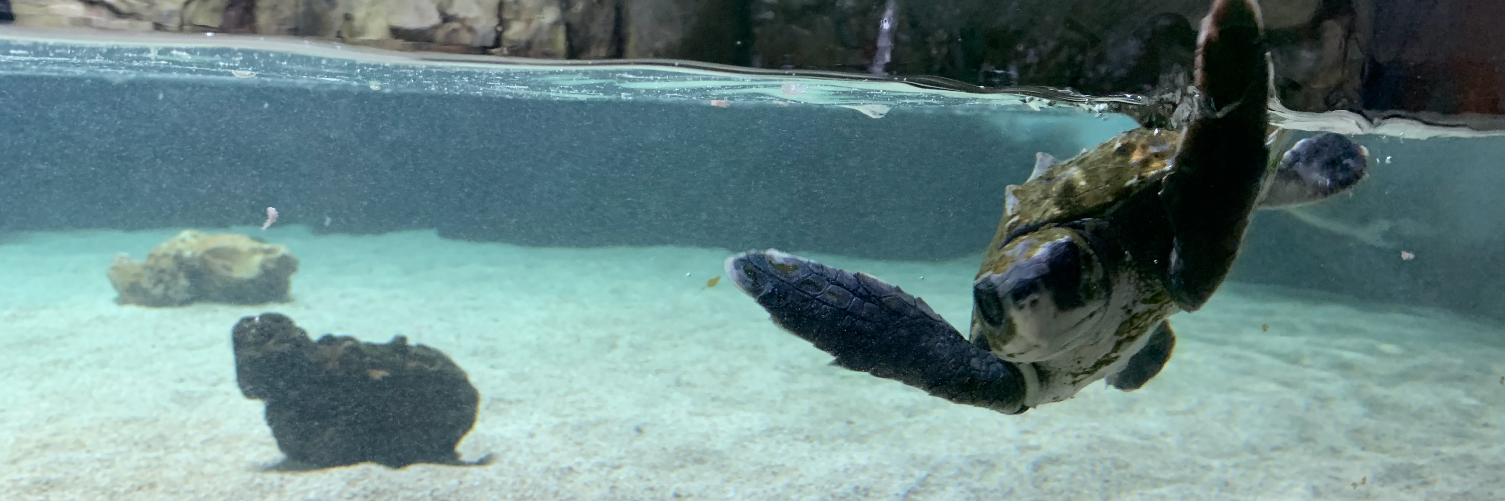 Rescued Sea Turtles at SEA LIFE Grapevine