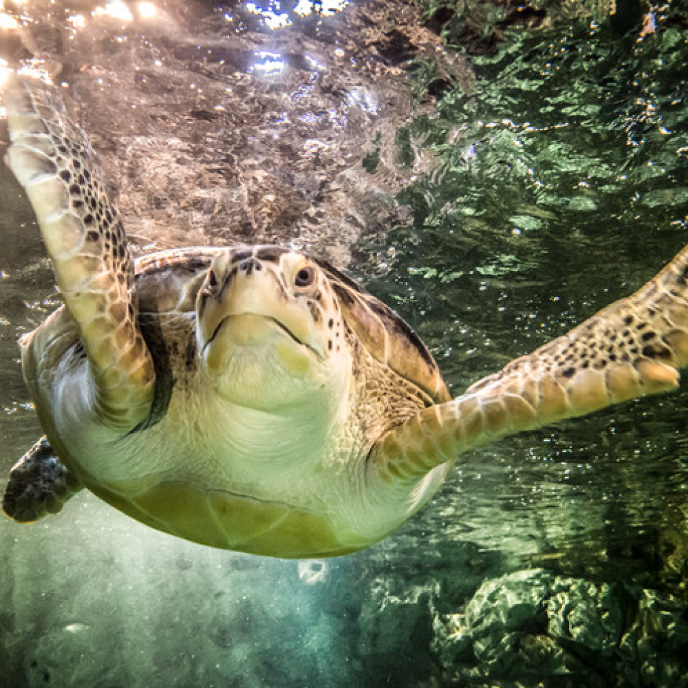 Sea Turtle at SEA LIFE | SEA LIFE Aquarium