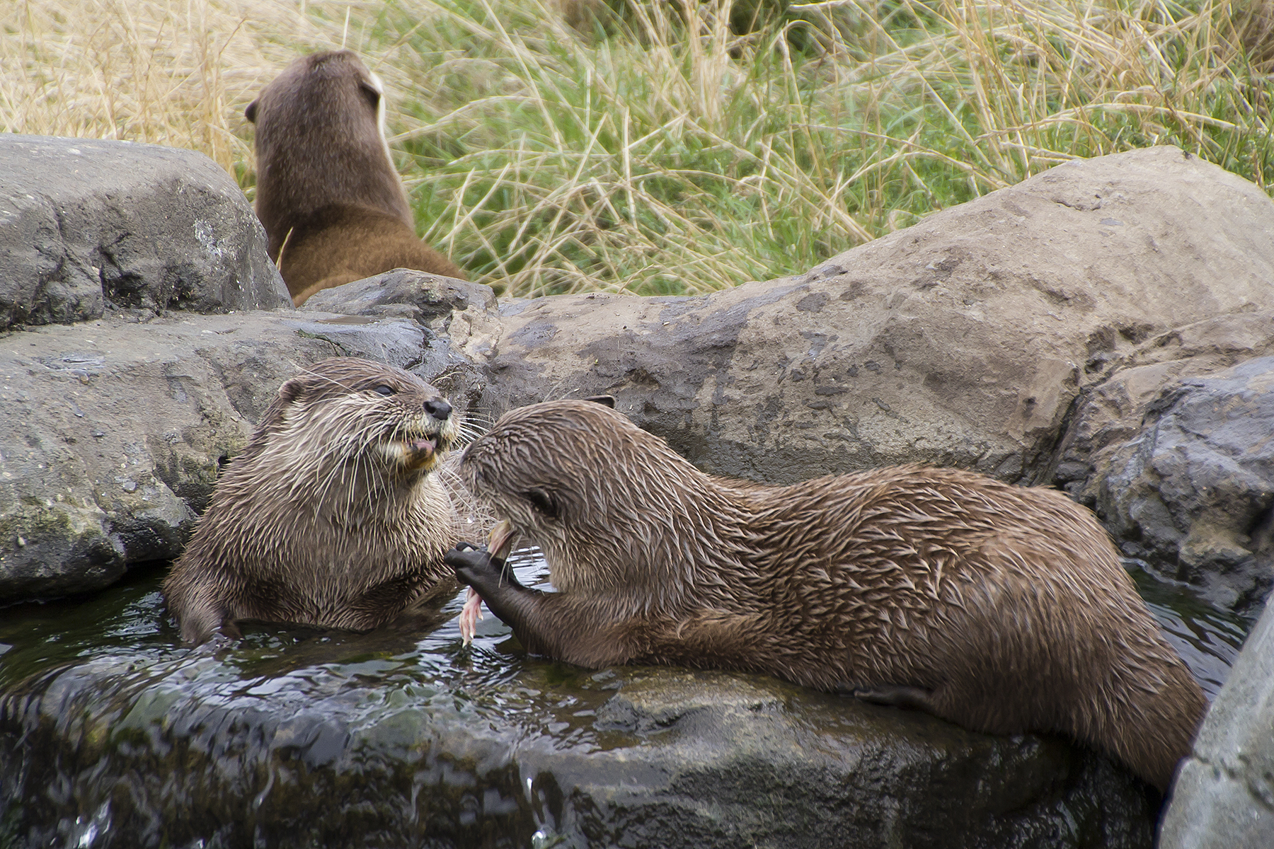 Asian short clawed otters at SEA LIFE Hunstanton