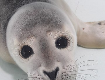 Seal pup rescued at SEA LIFE Hunstanton