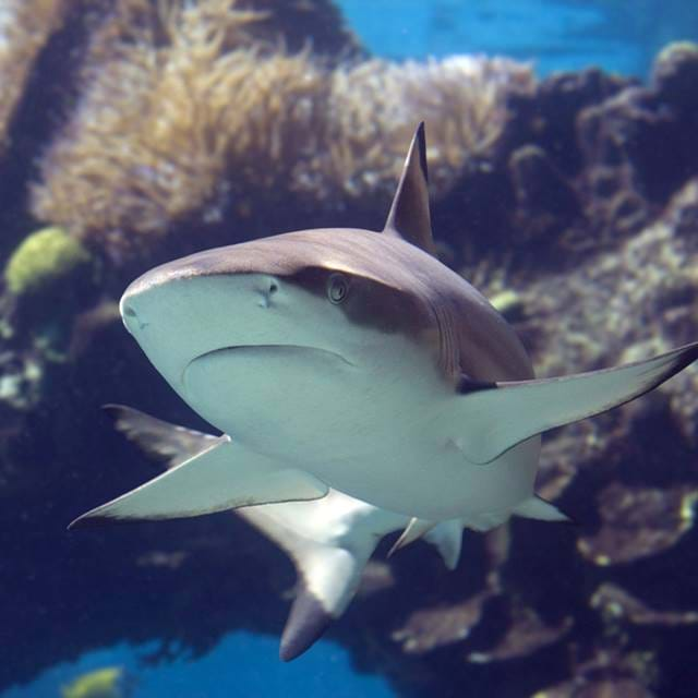 Blacktip Shark | SEA LIFE Aquarium