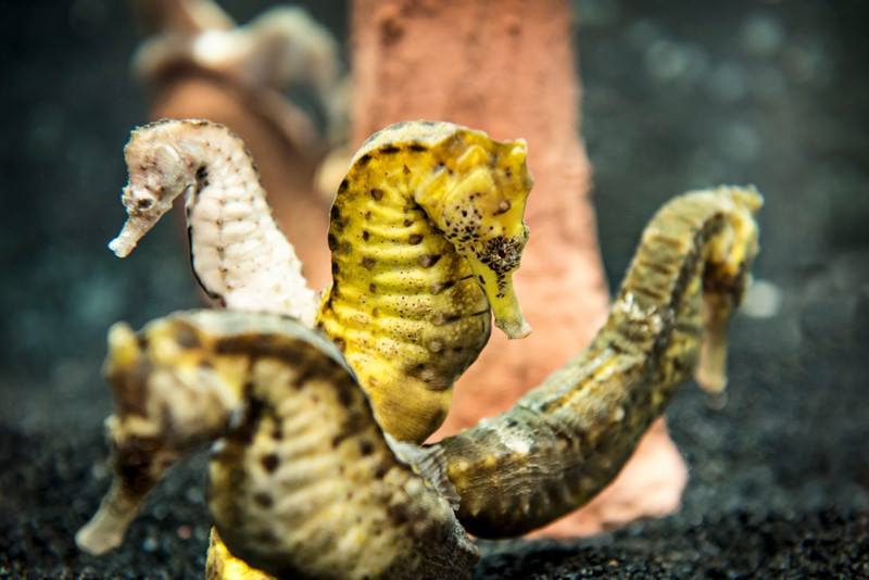 Seahorses at SEA LIFE | SEA LIFE Aquarium