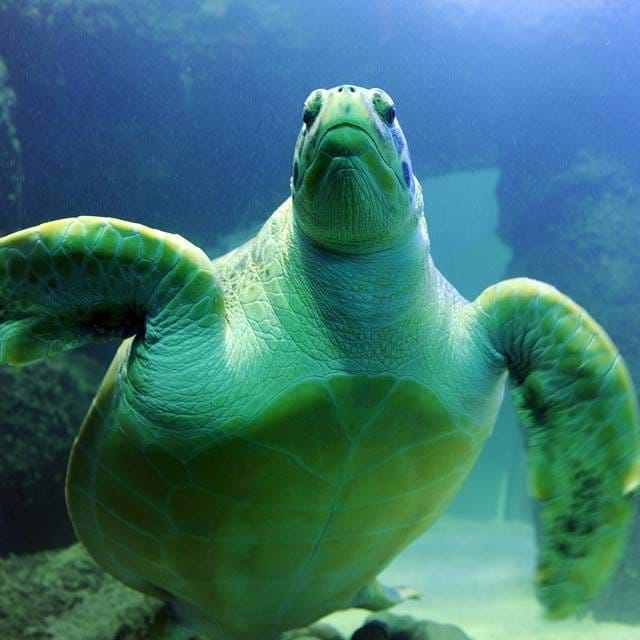 Green Sea Turtle | SEA LIFE Aquarium