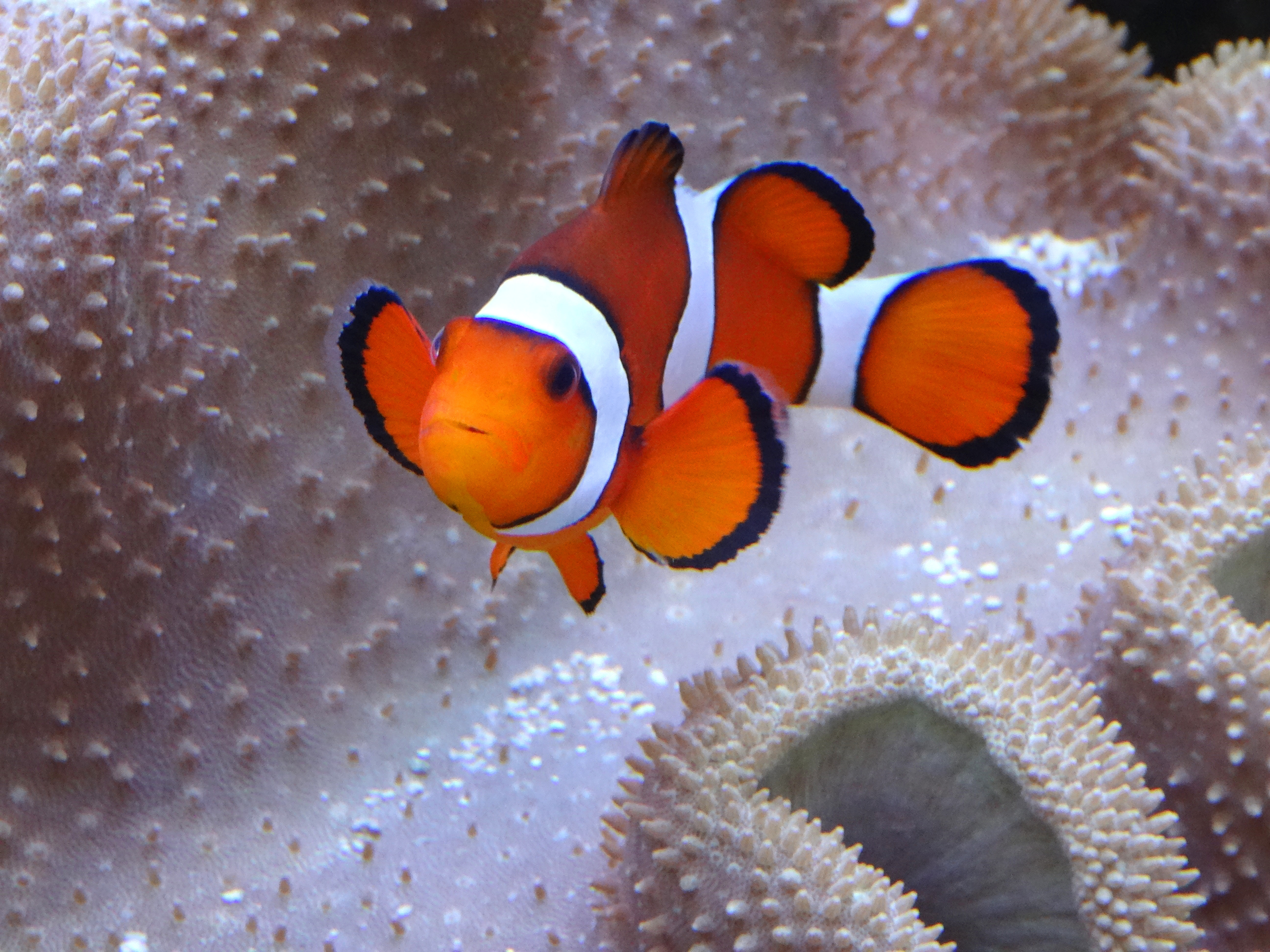 10581 Clownfish Swimming By An Anemone