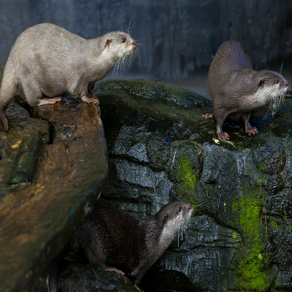 Loch Lomond Otters