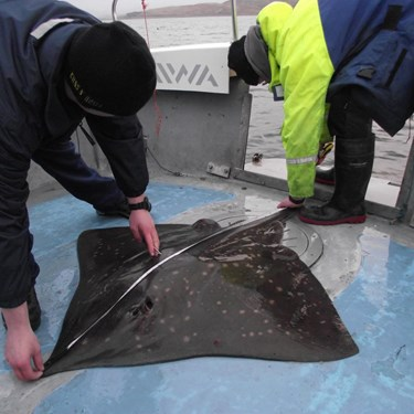 Stingray Tagging Loch Lomond
