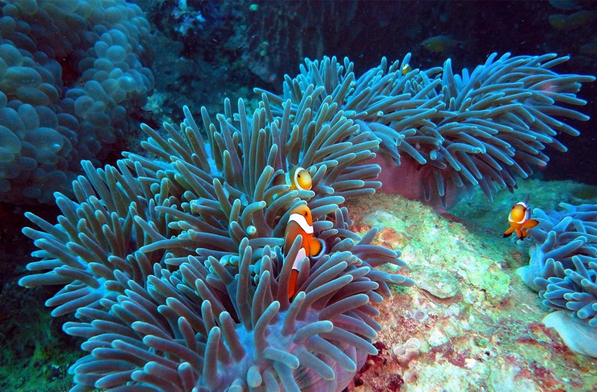 Sea Bed Clown Fish