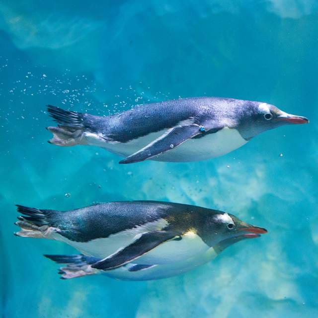 Group Penguins Swimming