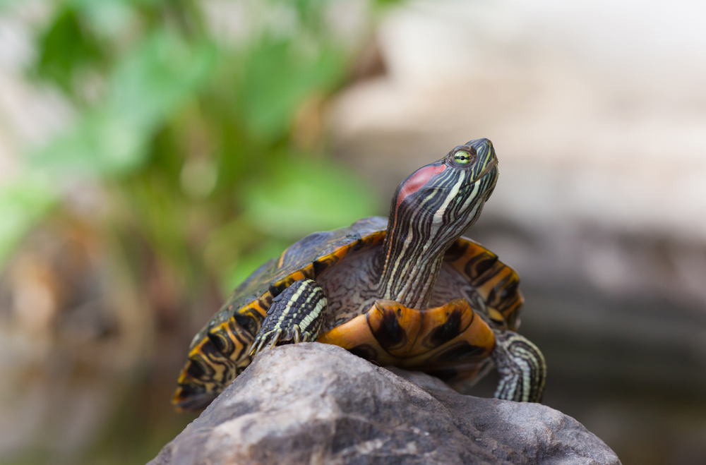 Red Earred Terrapin