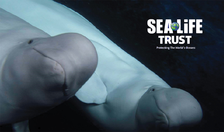 Beluga whales and SEA LIFE Trust