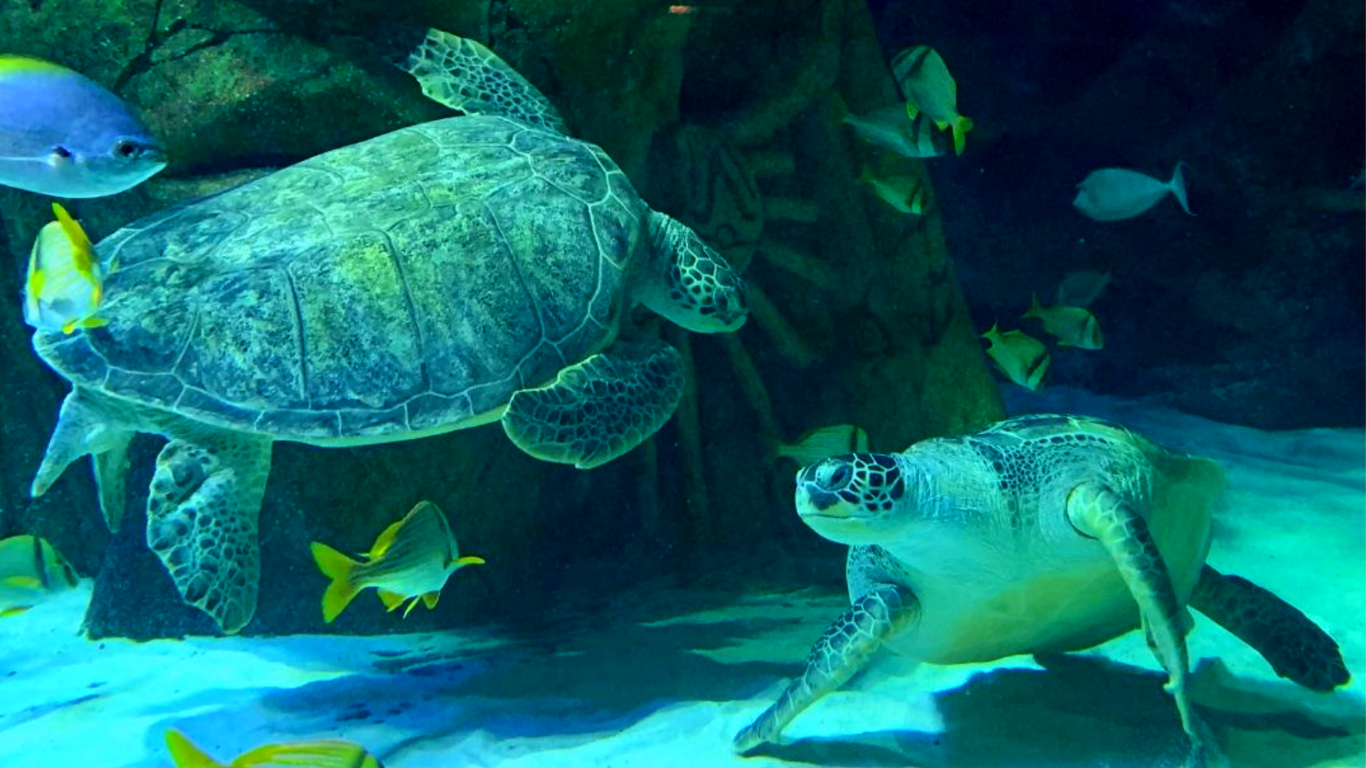 Cammy and Ernie the green sea turtles at SEA LIFE Manchester