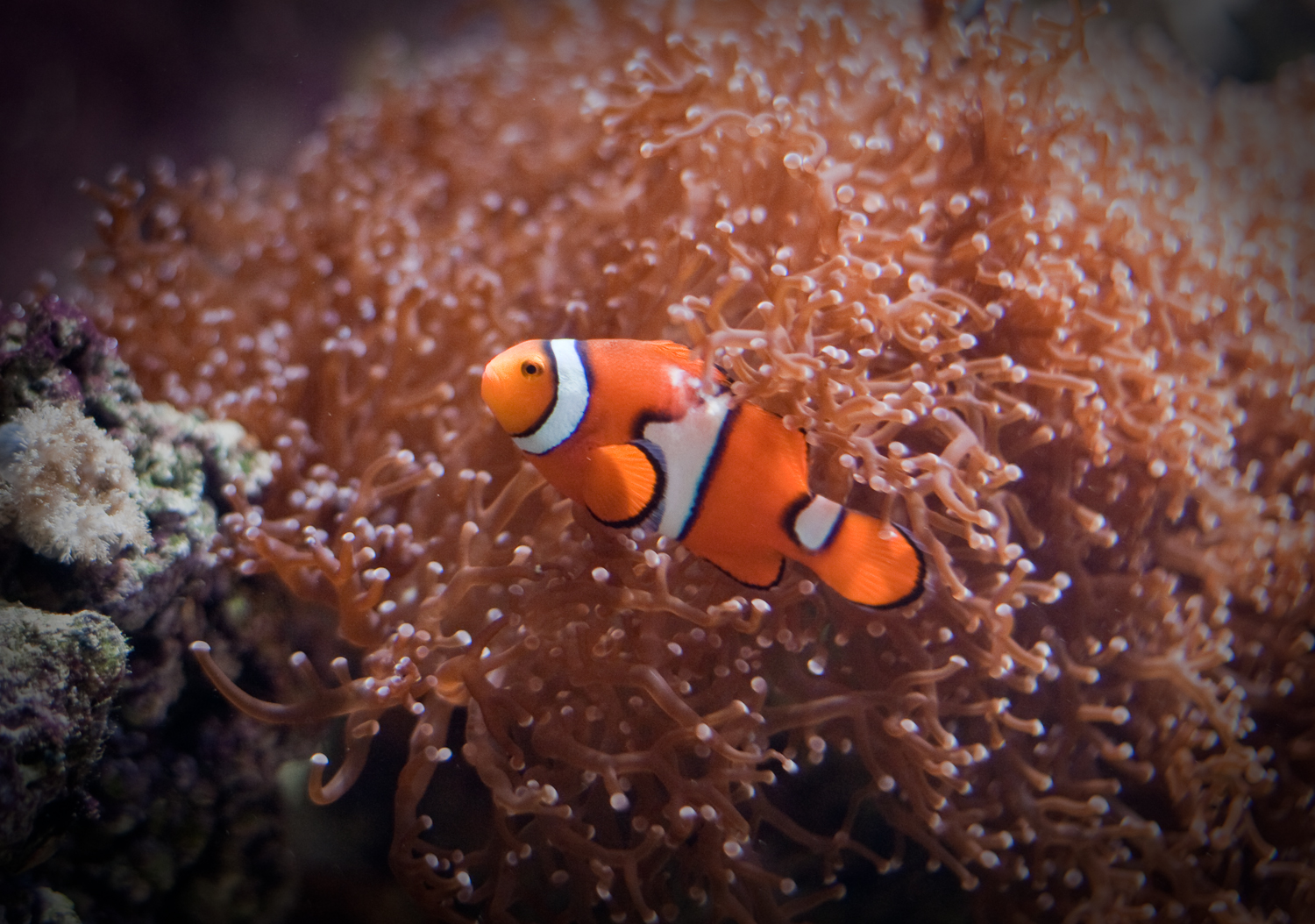 Clown fish banner