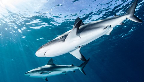 Bigstock Shark Diving 101658125 YES