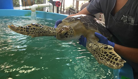 Turtle Rehabilitation Center And Benson  | SEA LIFE Michigan Aquarium
