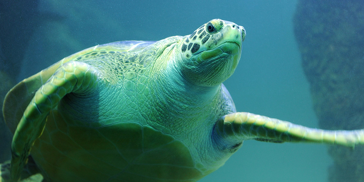 Green Sea Turtle 2 1200X600