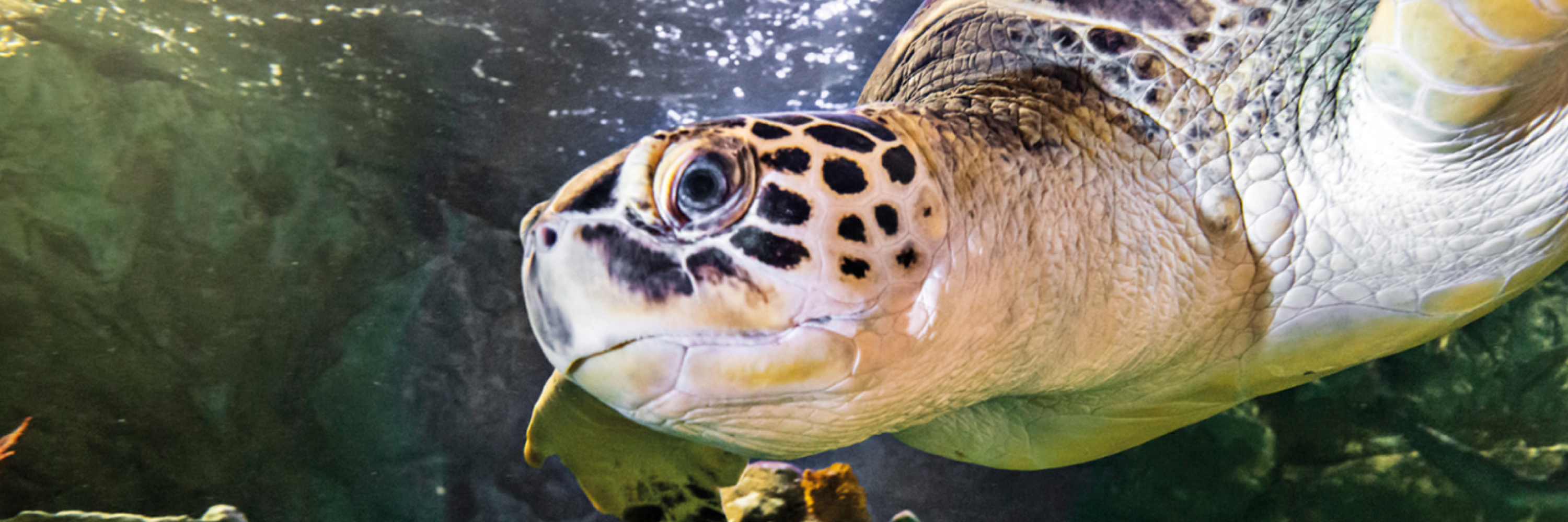 Sea Turtle 3000X1000 | SEA LIFE Aquarium