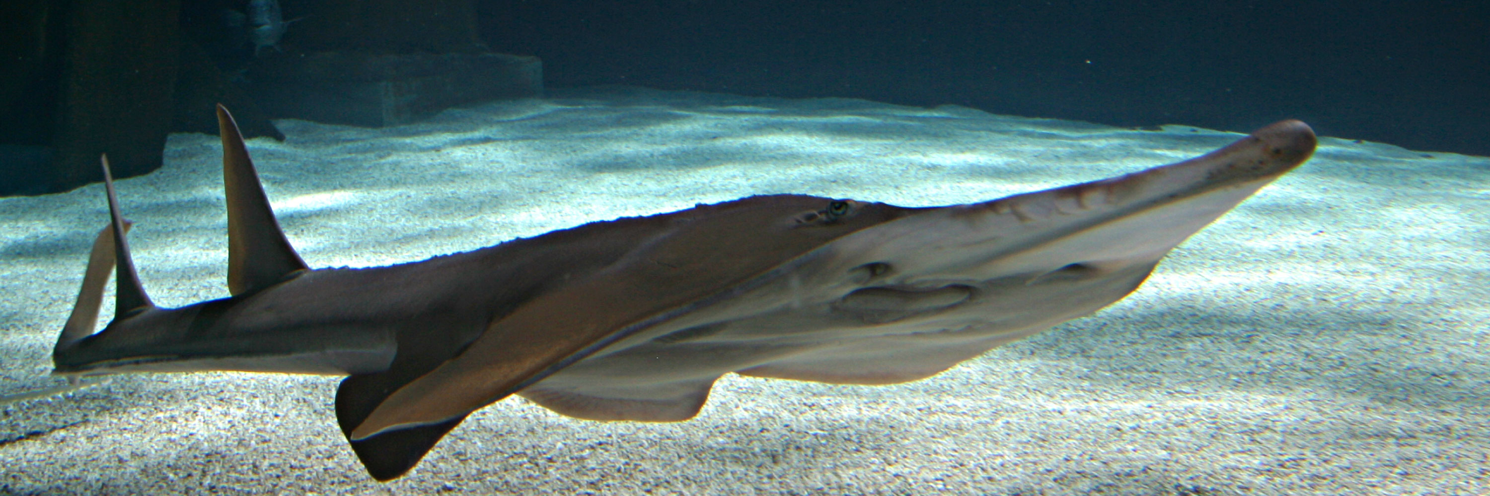 Guitarshark at SEA LIFE Aquarium