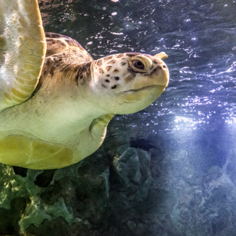 Sea Turtle | SEA LIFE Aquarium