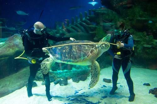 Aquarists Measure The 12M Long Shell Of Phoenix One Of The Enormous 130Kg Rare Green Sea Turtles At The Sea Life London Aquarium As Part Of Their Annual Hea
