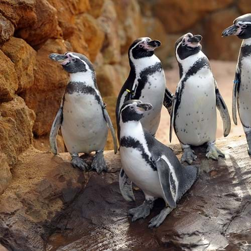 Site Pinguins