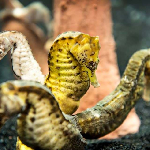 Seahorses | SEA LIFE Aquarium