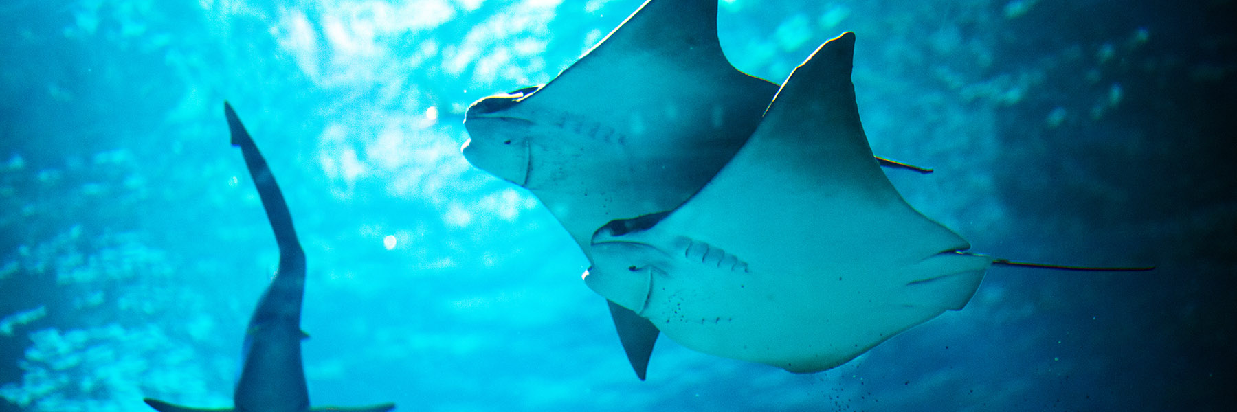 Cownose Rays at SEA LIFE San Antonio