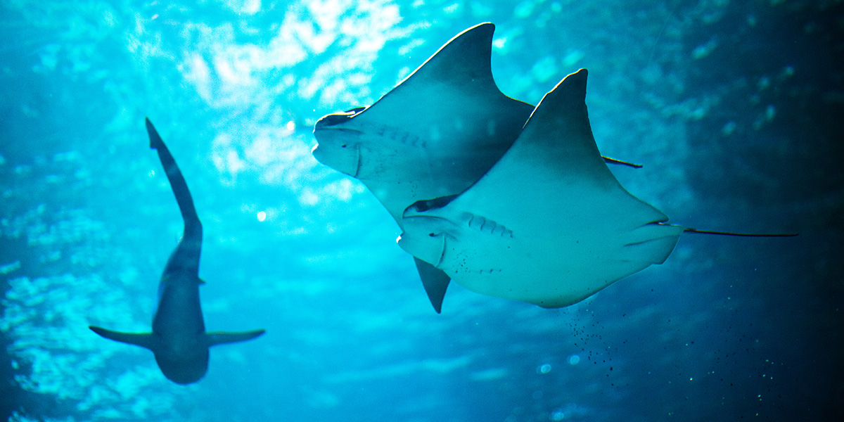 Cownose Rays 1200X600