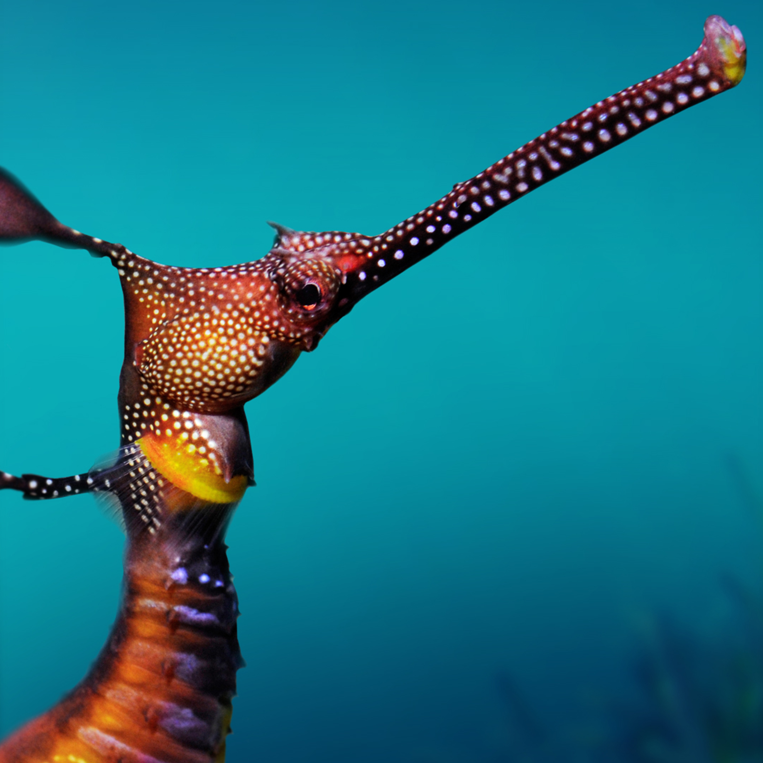Sea Dragon with spots