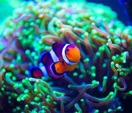 Clownfish Purple