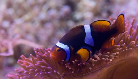 8442 Black Photon Clownfish Amphiprion Ocellaris X Amphiprion Percula 4