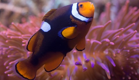 8439 Black Photon Clownfish Amphiprion Ocellaris X Amphiprion Percula 1