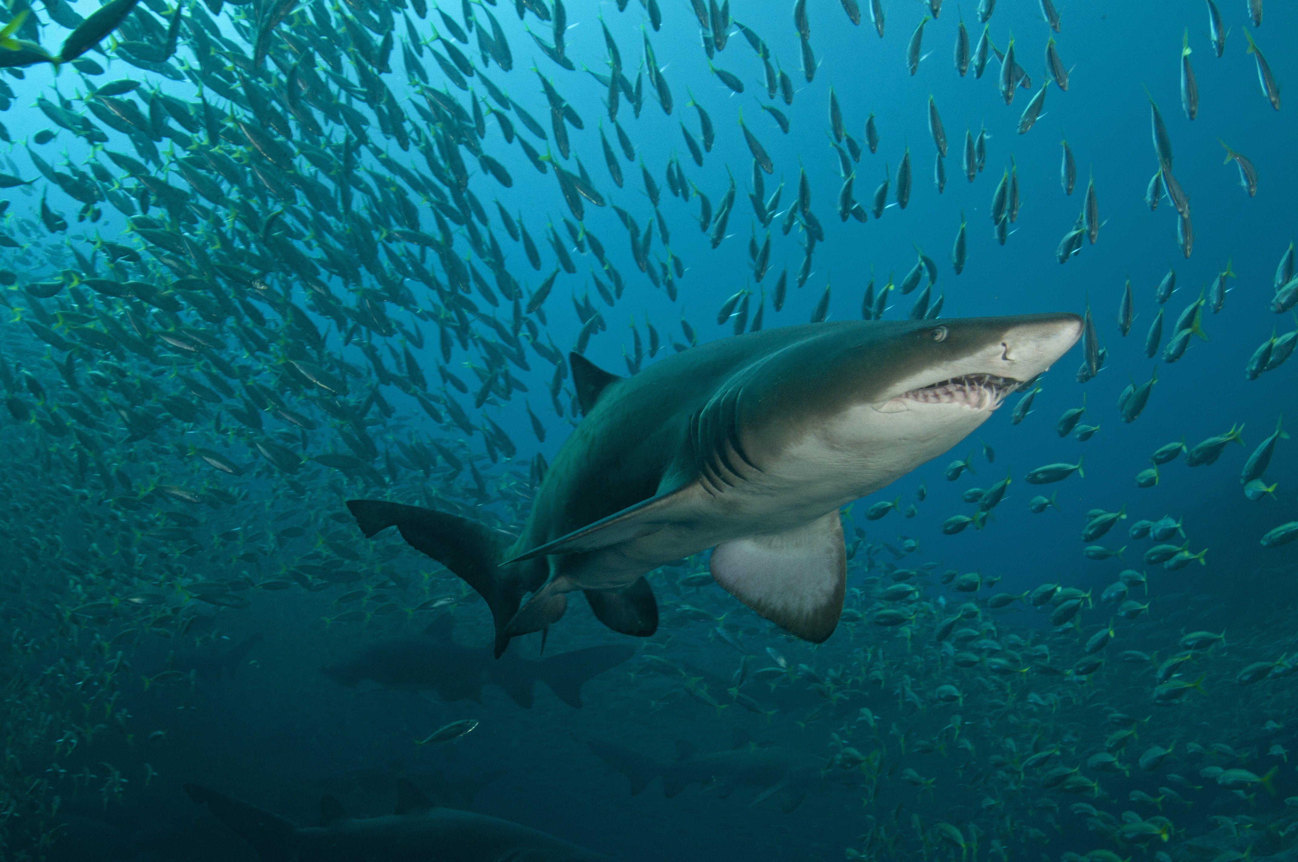 9578 Gettyimages 528048449 Grey Nurse Shark
