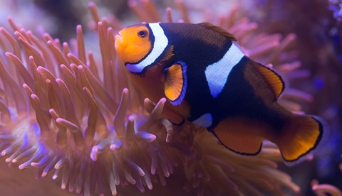 8443 Black Photon Clownfish Amphiprion Ocellaris X Amphiprion Percula 5