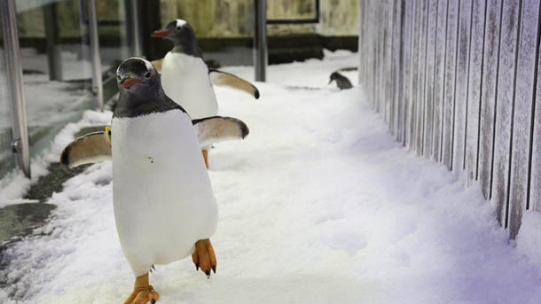 penguin waddling on ice
