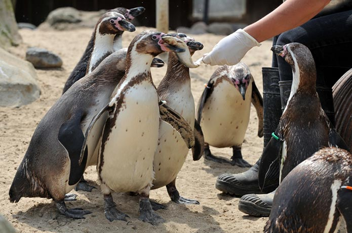 Humboldt Penguins at SEA LIFE Weymouth getting fed