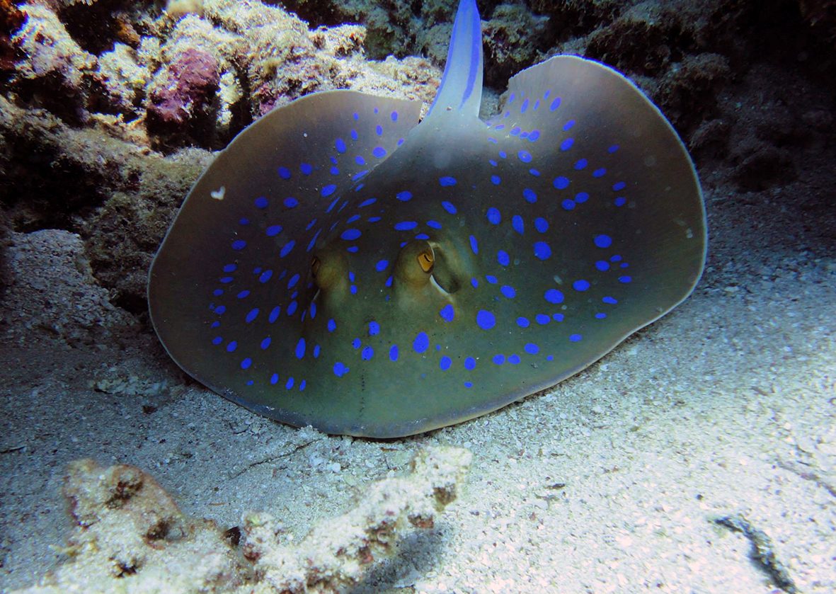 Blue Spot Stingray